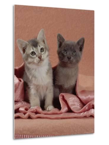 Domestic Cat, Blue Ticked Tabby and Burmese Kittens Under Pink Blanket, Bedroom-Jane Burton-Metal Print