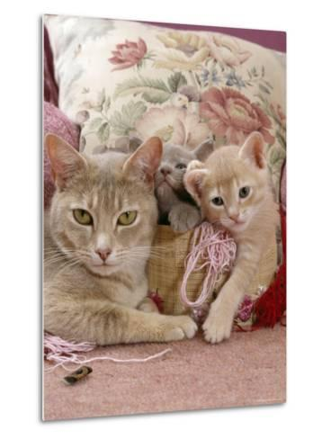 6-Week, Blue and Cream Kittens with Lilac Tortoiseshell Mother, Playing in Sewing Basket-Jane Burton-Metal Print