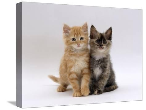 Domestic Cat, 8-Week, Fluffy Tortoiseshell and Ginger Kittens-Jane Burton-Stretched Canvas Print