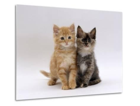 Domestic Cat, 8-Week, Fluffy Tortoiseshell and Ginger Kittens-Jane Burton-Metal Print