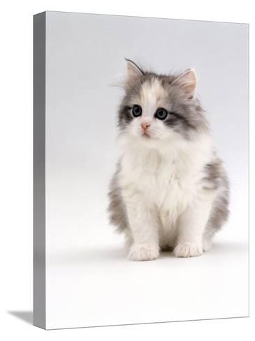 Domestic Cat, 6-Week, Chinchilla-Cross Kitten-Jane Burton-Stretched Canvas Print