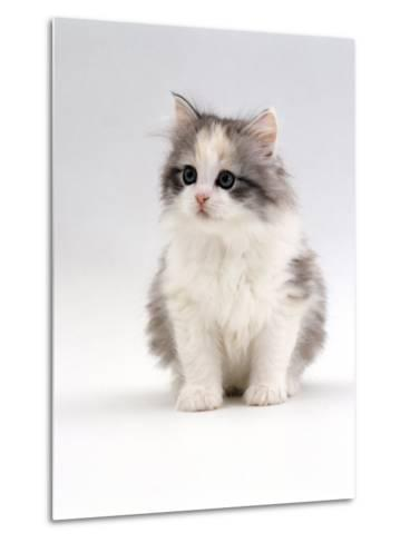 Domestic Cat, 6-Week, Chinchilla-Cross Kitten-Jane Burton-Metal Print