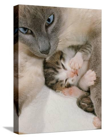 Domestic Cat, Stray Siamese Female with Single Kitten-Jane Burton-Stretched Canvas Print