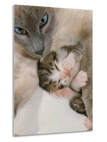 Domestic Cat, Stray Siamese Female with Single Kitten-Jane Burton-Metal Print