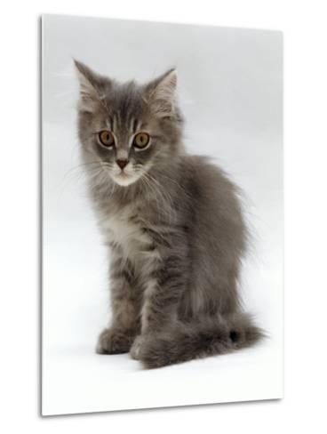 Domestic Cat, 10-Week, Grey Tabby Persian-Cross Kitten-Jane Burton-Metal Print