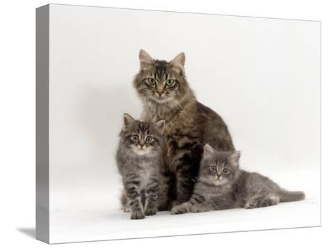 Domestic Cat, Fluffy Tabby with Her Two Kittens-Jane Burton-Stretched Canvas Print