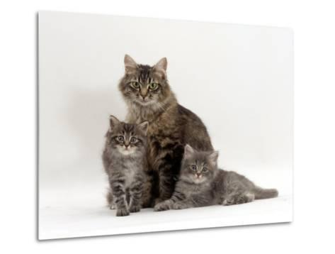 Domestic Cat, Fluffy Tabby with Her Two Kittens-Jane Burton-Metal Print