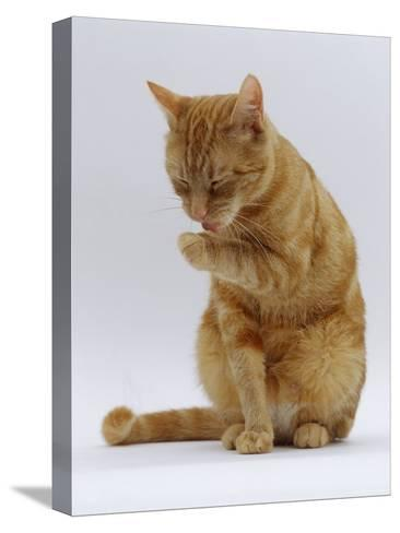 Domestic Cat, Ginger Tabby Female Sitting Licking Front Paw-Jane Burton-Stretched Canvas Print
