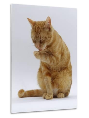 Domestic Cat, Ginger Tabby Female Sitting Licking Front Paw-Jane Burton-Metal Print