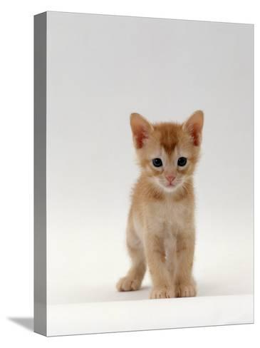Domestic Cat, 'Pansy's' 5-Week Red Kitten-Jane Burton-Stretched Canvas Print