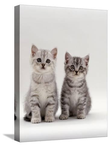 Domestic Cat, 7-Week, Two Silver Kittens-Jane Burton-Stretched Canvas Print