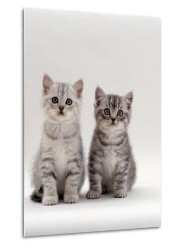 Domestic Cat, 7-Week, Two Silver Kittens-Jane Burton-Metal Print