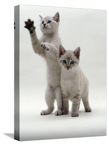Domestic Cat, Two Blue-Eyed Sepia Snow Bengal Kittens, One Reaching Up-Jane Burton-Stretched Canvas Print