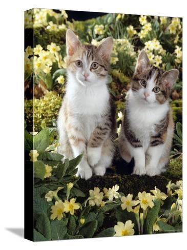 Tabby-Tortoiseshell-And White Kittens, 11-Week Sisters, Among Pink and Yellow Primroses-Jane Burton-Stretched Canvas Print