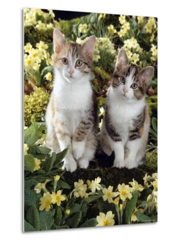Tabby-Tortoiseshell-And White Kittens, 11-Week Sisters, Among Pink and Yellow Primroses-Jane Burton-Metal Print