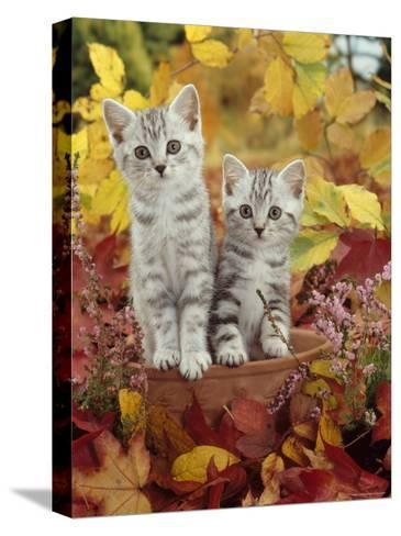 Domestic Cat, 8-Week, Silver Tabby Kittens Among Heather and Autumnal Leaves-Jane Burton-Stretched Canvas Print