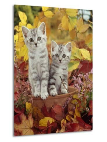 Domestic Cat, 8-Week, Silver Tabby Kittens Among Heather and Autumnal Leaves-Jane Burton-Metal Print