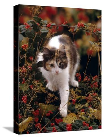Domestic Cat, Young Tortoiseshell-And-White Among Cotoneaster Berries and Ground Elder Seedheads-Jane Burton-Stretched Canvas Print