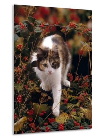 Domestic Cat, Young Tortoiseshell-And-White Among Cotoneaster Berries and Ground Elder Seedheads-Jane Burton-Metal Print