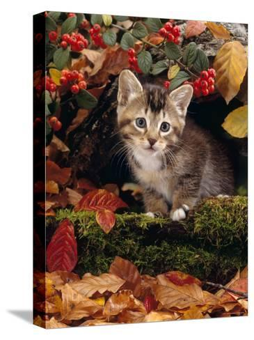 Domestic Cat, Tabby Kitten Among Autumn Leaves and Cottoneaster Berries-Jane Burton-Stretched Canvas Print