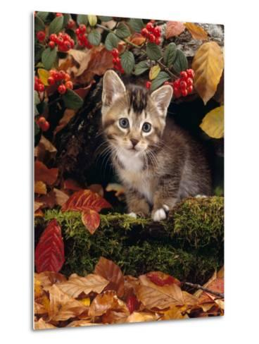 Domestic Cat, Tabby Kitten Among Autumn Leaves and Cottoneaster Berries-Jane Burton-Metal Print