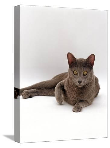 Domestic Cat, One-Year Blue Siamese Burmese Cross-Jane Burton-Stretched Canvas Print