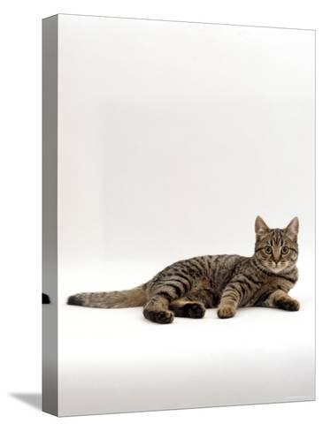 Domestic Cat, Tabby Chinchilla Burmese Cross-Jane Burton-Stretched Canvas Print