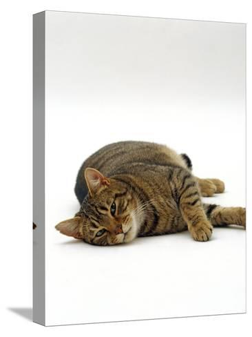 Domestic Cat, Striped Tabby Male Lying on Side-Jane Burton-Stretched Canvas Print
