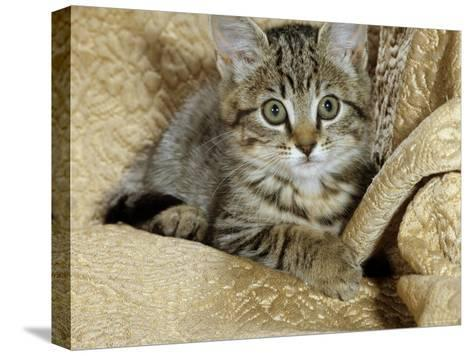 Domestic Cat, Female Tabby Kitten on Chair-Jane Burton-Stretched Canvas Print