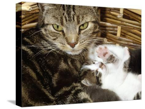 Domestic Cat, 2-Week Tabby and White Kitten Plays with Her Mother's Whiskers in Basket-Jane Burton-Stretched Canvas Print