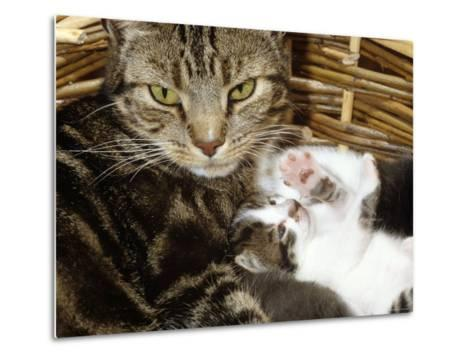 Domestic Cat, 2-Week Tabby and White Kitten Plays with Her Mother's Whiskers in Basket-Jane Burton-Metal Print