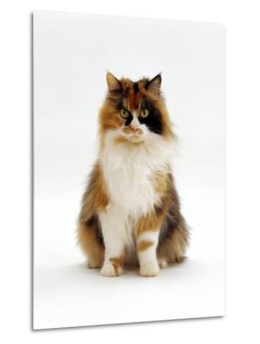 Domestic Cat, Tortoiseshell and White Female Sitting-Jane Burton-Metal Print
