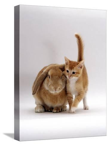 Domestic Cat, Ginger Female with Young Sandy Lop Eared Rabbit, Colour Coordinated-Jane Burton-Stretched Canvas Print
