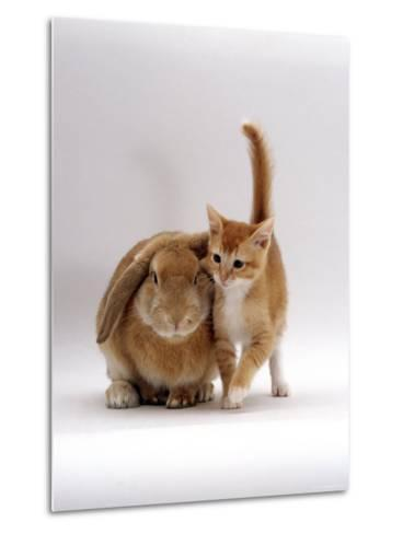 Domestic Cat, Ginger Female with Young Sandy Lop Eared Rabbit, Colour Coordinated-Jane Burton-Metal Print
