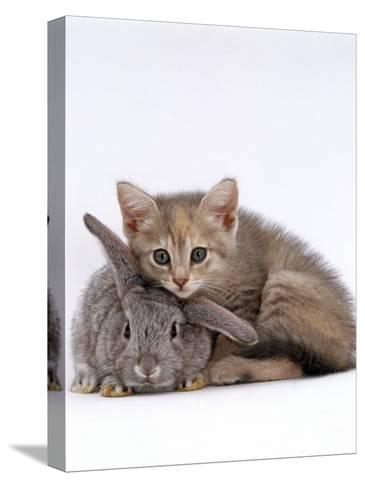 Domestic Cat, Silver Tortoiseshell Kitten with Silver Dwarf Lop Eared Rabbit-Jane Burton-Stretched Canvas Print