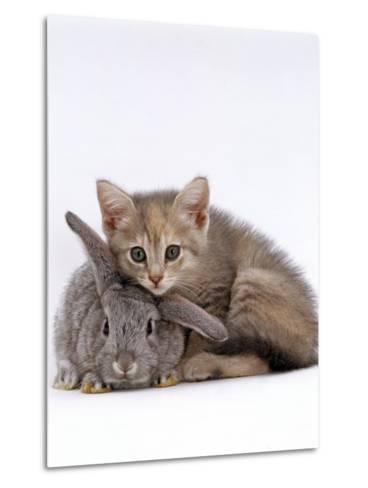 Domestic Cat, Silver Tortoiseshell Kitten with Silver Dwarf Lop Eared Rabbit-Jane Burton-Metal Print