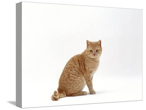 Domestic Cat, Cream British Shorthair Male Sitting-Jane Burton-Stretched Canvas Print