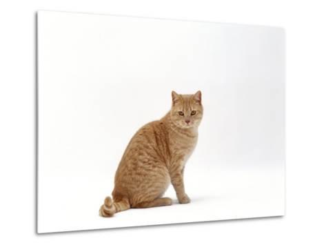 Domestic Cat, Cream British Shorthair Male Sitting-Jane Burton-Metal Print