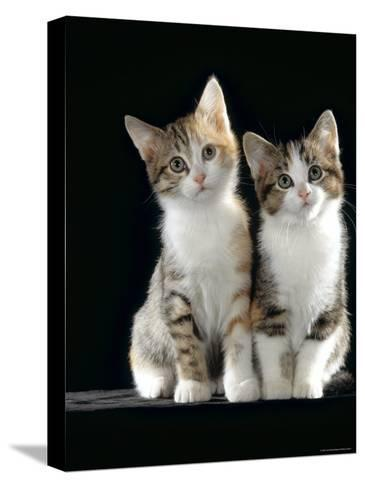 Domestic Cat, Two 8-Week Tabby Tortoiseshell and White Kittens-Jane Burton-Stretched Canvas Print