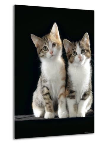 Domestic Cat, Two 8-Week Tabby Tortoiseshell and White Kittens-Jane Burton-Metal Print
