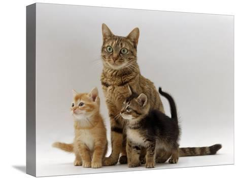 Domestic Cat, with Two of Her 6-Week Kittens-Jane Burton-Stretched Canvas Print
