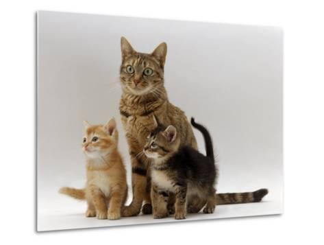 Domestic Cat, with Two of Her 6-Week Kittens-Jane Burton-Metal Print