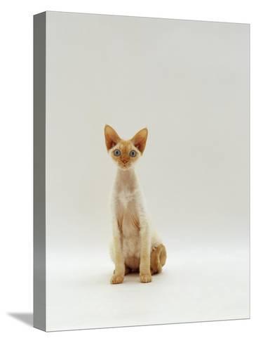 Domestic Cat, Rex Portrait-Jane Burton-Stretched Canvas Print