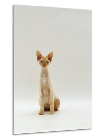 Domestic Cat, Rex Portrait-Jane Burton-Metal Print