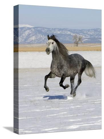 Gray Andalusian Stallion, Cantering in Snow, Longmont, Colorado, USA-Carol Walker-Stretched Canvas Print