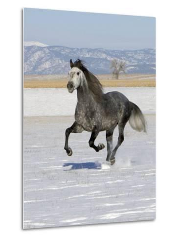 Gray Andalusian Stallion, Cantering in Snow, Longmont, Colorado, USA-Carol Walker-Metal Print