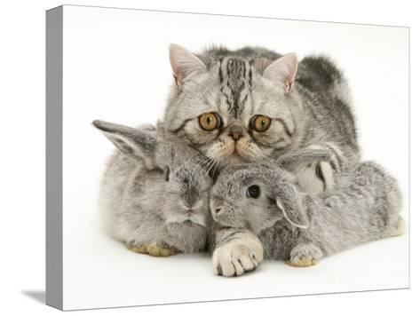 Silver Exotic Cat Cuddling up with Two Baby Silver Rabbits-Jane Burton-Stretched Canvas Print