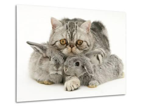 Silver Exotic Cat Cuddling up with Two Baby Silver Rabbits-Jane Burton-Metal Print