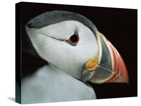 Puffin Portrait, Runde, Norway-Bence Mate-Stretched Canvas Print