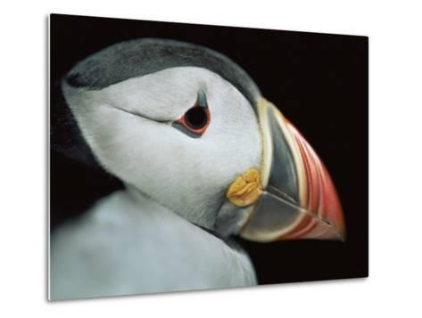 Puffin Portrait, Runde, Norway-Bence Mate-Metal Print
